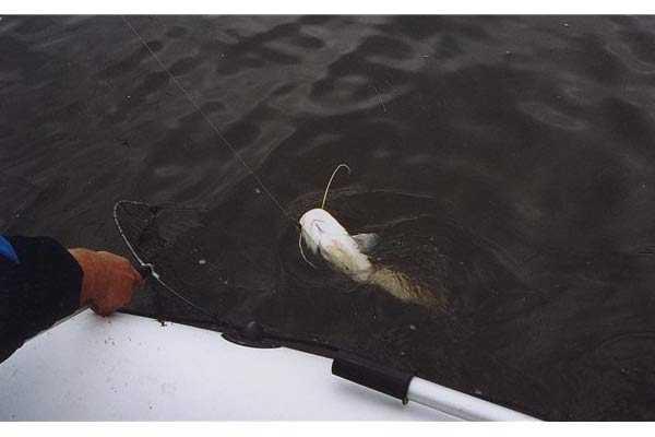 ловить сома в августе на реке