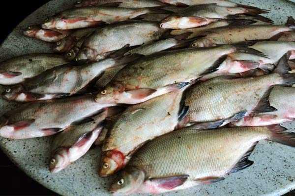 охлаждение рыбы перед посолом