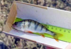 Размеры рыб разрешенные к вылову в 2019 году
