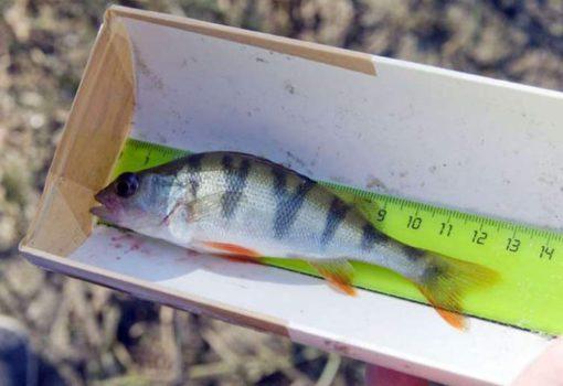 Размеры рыб разрешенные к вылову в 2020 году